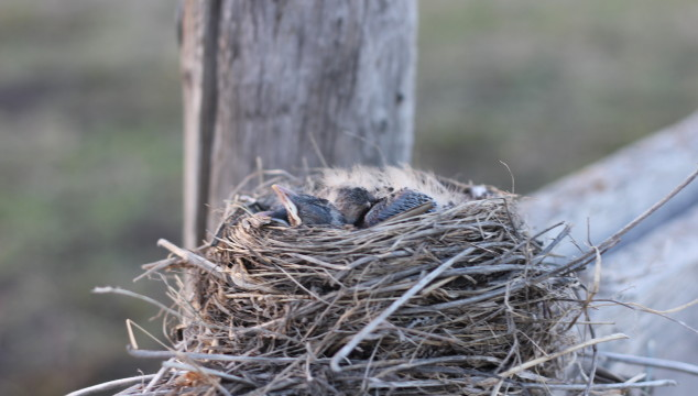 Farmin' Friday: Environmental sustainability example on our farm – bird nests & cows